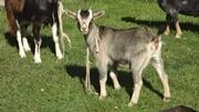 коза камерунская мини
