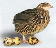 Перепела любого возраста,  мясо  перепелов,  инкубационные яйца