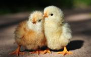 Цыплята от домашних кур.