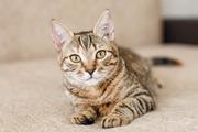 Варюша - домашний тигренок,  котенок в дар!