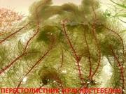 Перестолистник красностебельный -- аквариумное растение и другие...