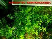 Хемиантус микроимоидес -- аквариумное растение... и много других аквар