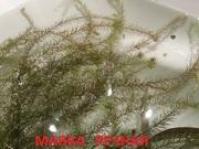 Маяка речная -- аквариумное растение... и много других ...
