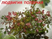 Людвигия ползучая --- аквариумное растение и другие разные растения.