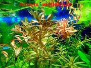 Соберу набор из неприхотливых аквариумных растений. Гуппи разные