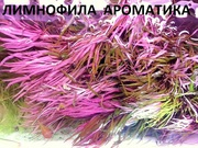 Лимнофила ароматика ---- аквариумное растение и разные растения....