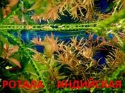 Ротала --- аквариумное растение и много разных растений....