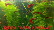 КРАСНАЯ -- АЛАЯ ---- гуппи --- чистая линия. аквариумные РЫБЫ