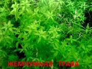 Жемчужная трава --- аквариумное растение и много других растений