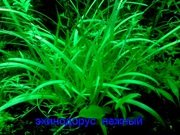 Эхинодорус тенелиус - -- аквариумное растение и др. разные растения