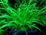 Эхинодорус тенелиус - аквариумное растение и другие разные растения-