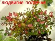 Людвигия ползучая --- аквариумное растение и другие разные растения