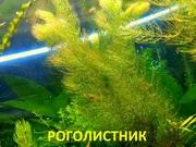 Роголистник -- аквариумное растение и много разных растений-