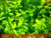 Бакопа австролийская -- аквариумное растение и другие растения-