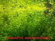 Хемиантус микроимоидес --- аквариумное растение и много других