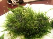 Мох флейм--пламя и др. растения - НАБОРЫ растений для запуска. ПОЧТОЙ