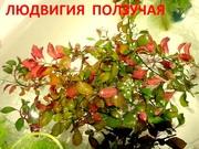 Людвигия ползучая и др. растения - НАБОРЫ растений для запуска. ПОЧТОЙ