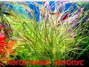 Погостеон октопус. НАБОРЫ растений для запуска. ПОЧТОЙ вышлю