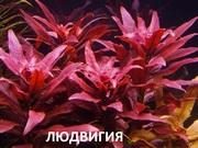 Людвигия гландулоза. НАБОРЫ растений для запуска. ПОЧТОЙ вышлю