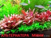 Альтернатера мини.. НАБОРЫ растений для запуска. ПОЧТОЙ и МАРШРУТКОЙ