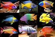 Аквариумная рыба. Дешево. Много. Разная==