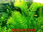 Роголистник -- аквариумные растения. Наборы растений для запуска аква=