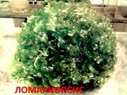 Ломариопсис - НАБОРЫ растений для запуска. ПОЧТОЙ и МАРШР