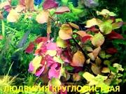 Людвигия круглолистная - НАБОРЫ растений для запуска. ПОЧТОЙ и МАРШР