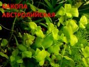 Бакопа австролийская -- аквариумное растение и много других ...