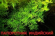 Папоротник индийский - аквариумные растения и другие растения
