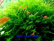 МОХ  Крисмас - аквариумные растения и разные растения.