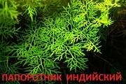 Папоротник индийский --- аквариумное растение и разные растения.