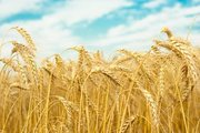 Покупаем зерно фуражное