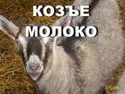 Молоко козъе