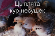Цыплята кур-несушек