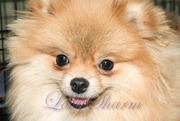 Померанский шпиц – породные щенки от питомника Лаки Шарм (продажа)