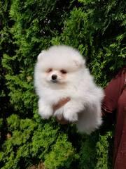 Миниатюрные щенки померанского шпица – медвежий тип