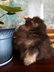Шоколадный мальчик-мишка померанского шпица. С родословной,  3 месяца.