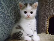 Шотландский котёнок редкого окраса c документами (SCOTTISH STRAIGHT)