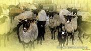 Овцы, ярочки для собственного стада