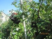 саженцы чёрной малины Кумберленд с открытой и закрытой корневой систем