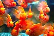 цихлида попугай -красный ,  желтый ,  оранжевый!+1 РЫБКА В ПОДАРОК!