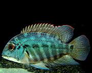 Пситакус рыбки