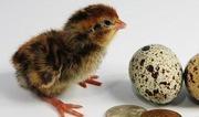 Предлагаем инкубационное яйцо перепела с доставкой по РБ