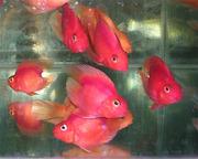 Цихлида попугай малиновый + 1 рыбка в подарок )