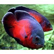 Аcтонотус красный