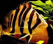 Тигровый окунь