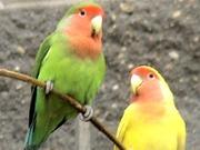 Попугай неразлучник) два цвета))