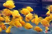 Попугай жёлтый+ 1 рыбка в подарок ) .