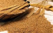 Пшеница фуражная - зерно